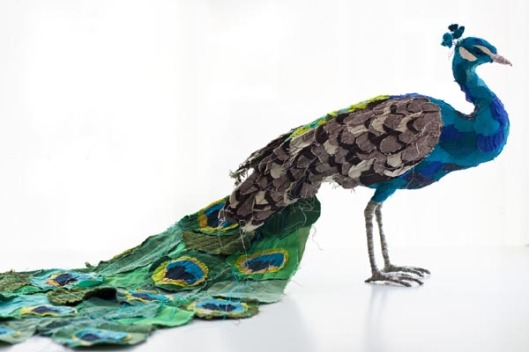Peacock by Abigail Brown