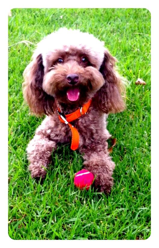 Bella the poodle