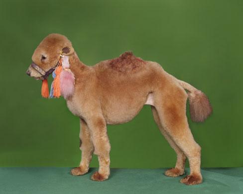 Camel by Ren Netherland