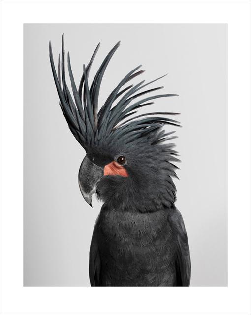 'Seisa', Palm Cockatooby Leila Jeffreys