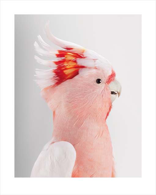 'Neville', Major Mitchell's Cockatoo by Leila Jeffreys