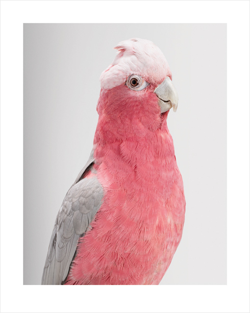Queenie the Galah Cockatoo by Leila Jeffreys