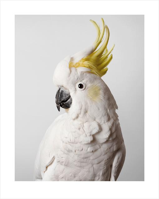 Sulphur Crested Cockatoo by Leila Jeffreys