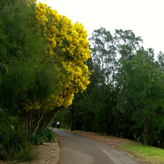 Wattles in Winter (Image by TSL)
