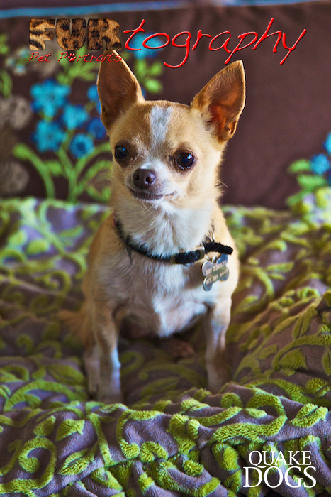 Chloe the Chihuahua Quake Dog