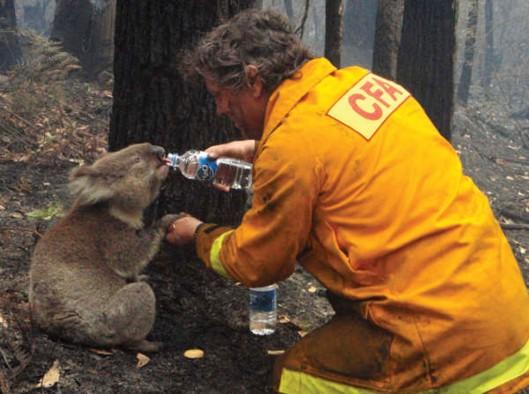 Koala caught in bushfire image